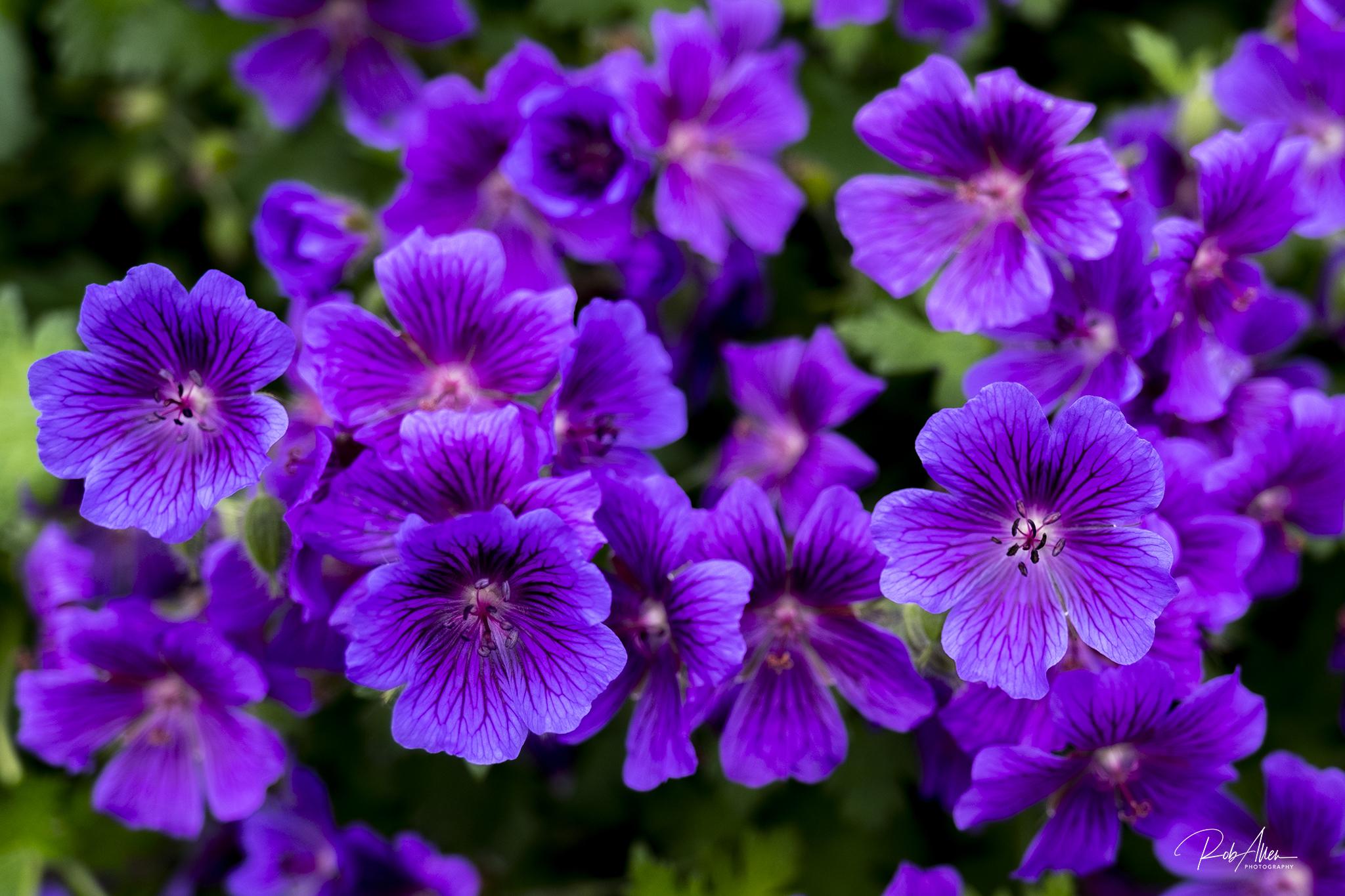 20190525_SwWaterFront_PurpleFlowers-0426