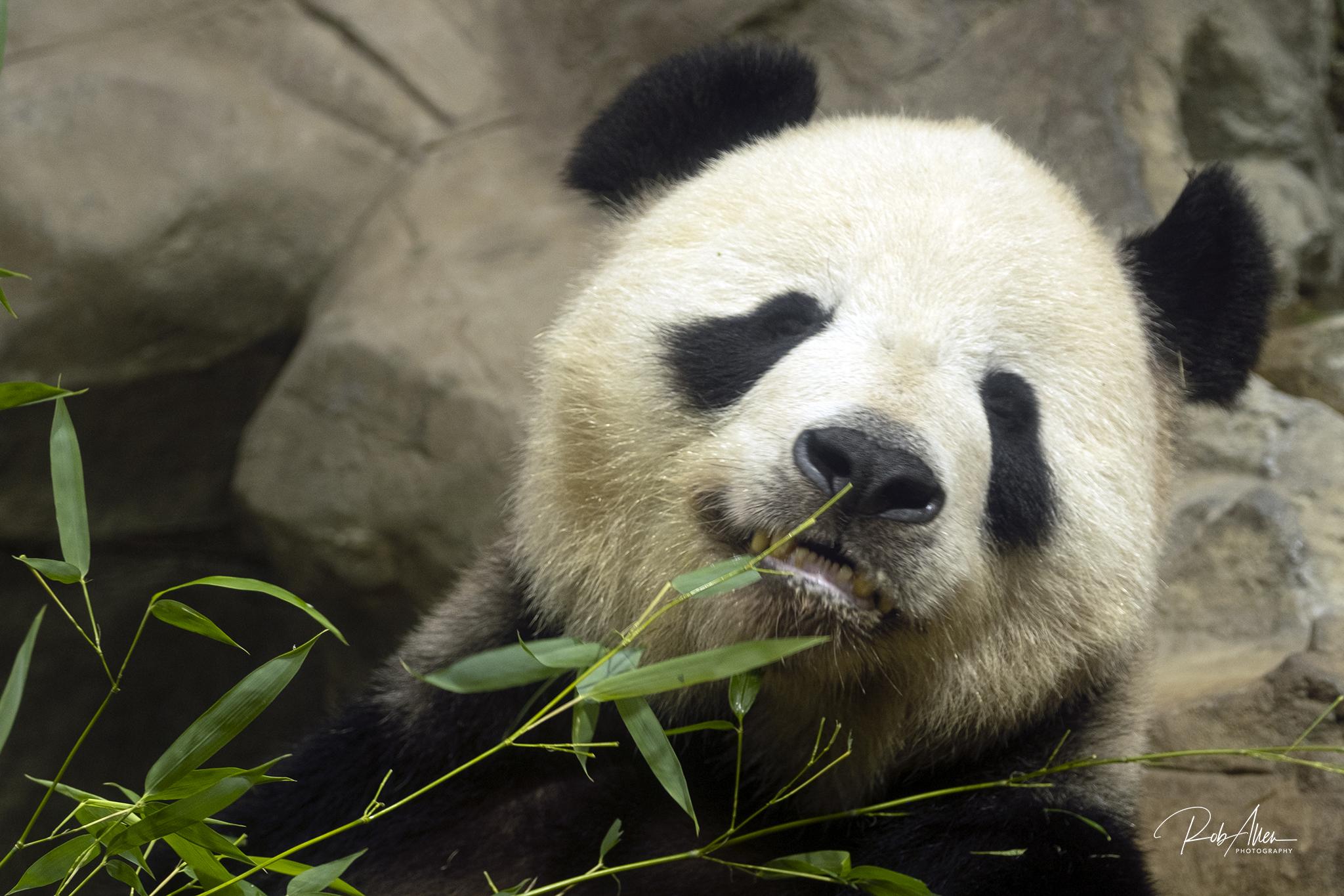 Giant Panda Posing