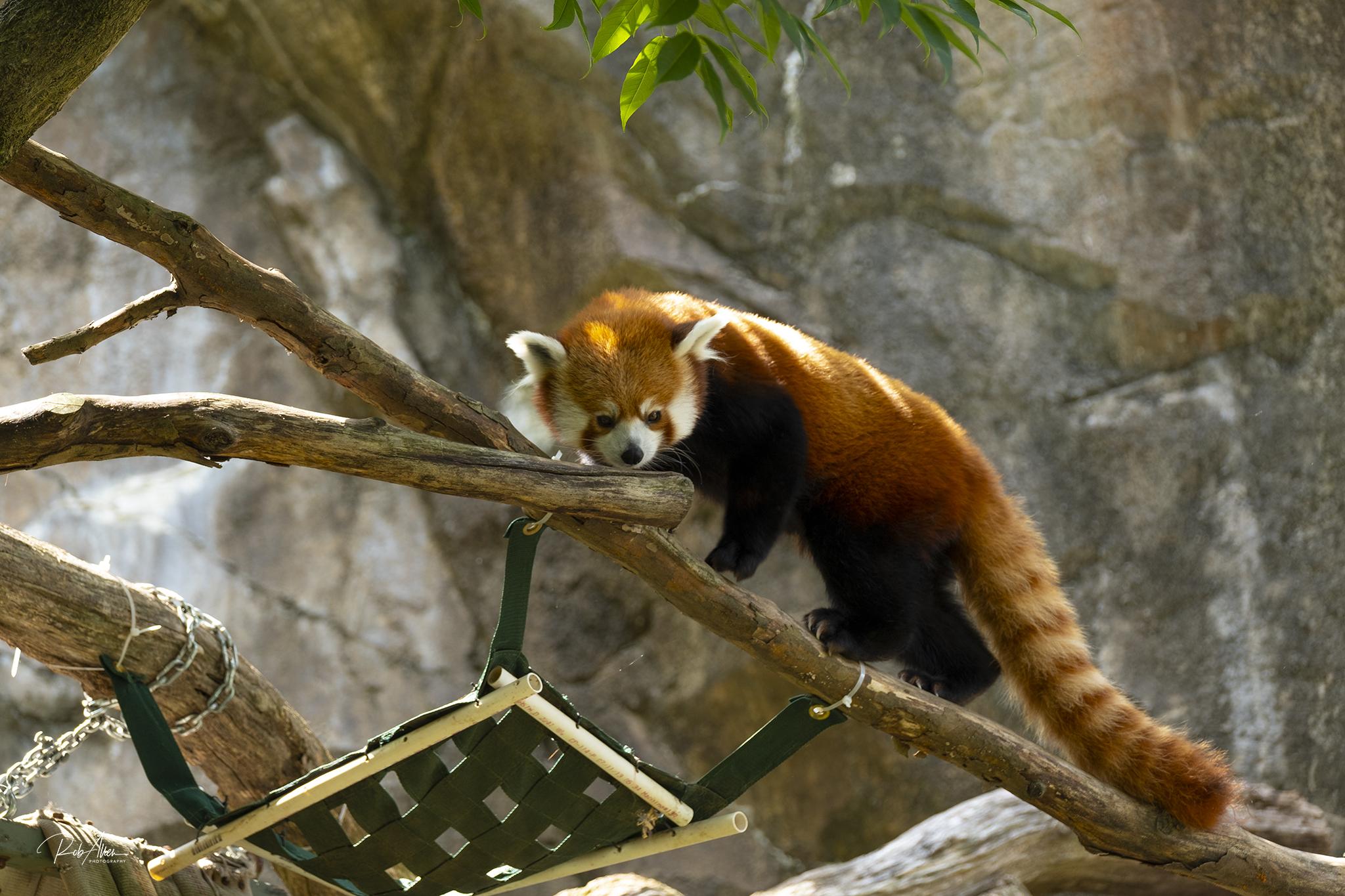 Red Panda Embarassed