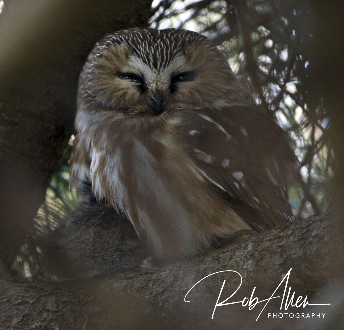 Northern_Sha_Whet_Owl-sig