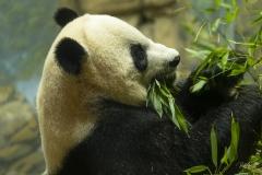 Giant Panda Chowing