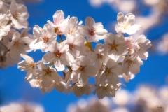 20200316_CherryBlossom-6528